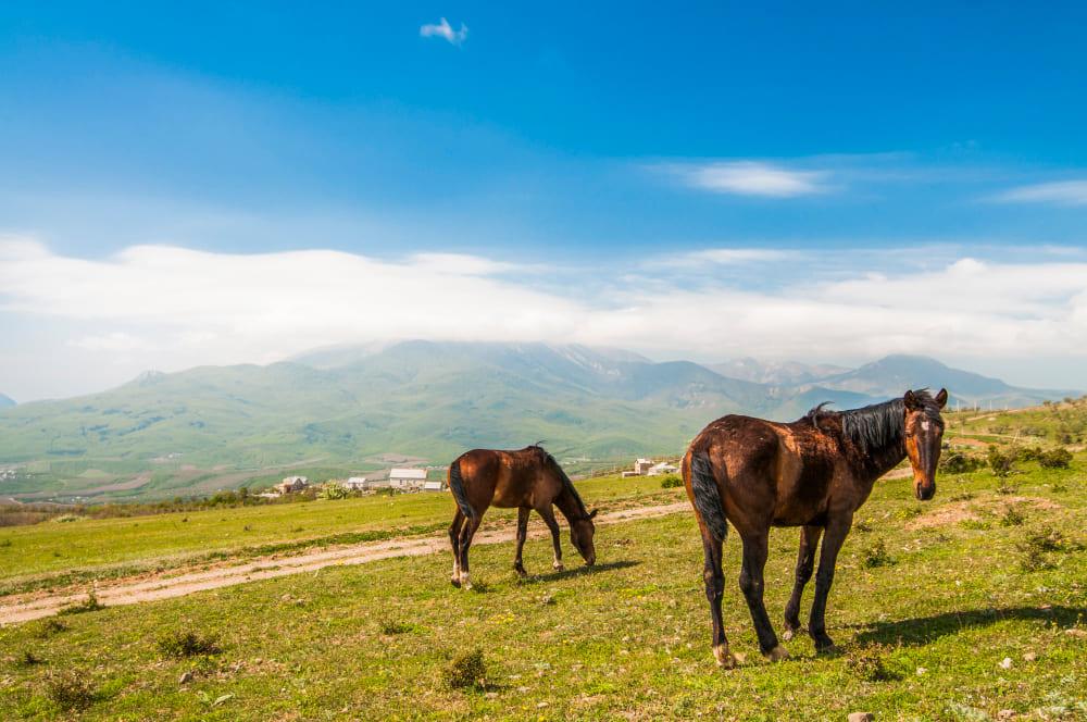 Deux chevaux bruns paissent sur la pelouse