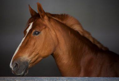 massage pour cheval
